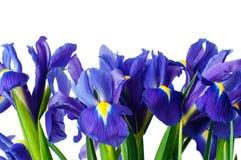 Iris flower isolated. Beautiful dark purple iris flower isolated on white background Royalty Free Stock Photography