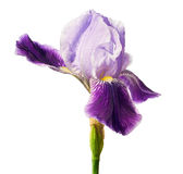 Iris flower isolated with clipping path Royalty Free Stock Images