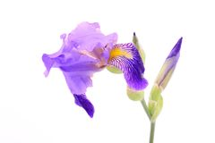 Iris flower isolated on white stock photos
