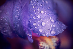 Iris Flower Lefs With Rain Drops Royalty Free Stock Images