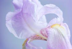 Iris flower macro Royalty Free Stock Photography