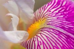 Iris Flower Macro Royalty Free Stock Photos