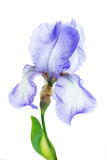 Iris flower macro Royalty Free Stock Image