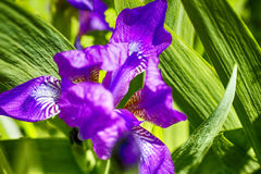 Iris flower in nature. Royalty Free Stock Photography