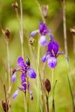Iris flower in nature Stock Photos
