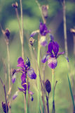 Iris flower in nature Stock Image