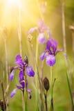 Iris flower in nature Royalty Free Stock Photo