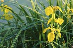 Iris flower in nature Stock Photography
