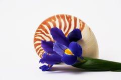 Iris Flower and Nautilus Shell. On White Background Stock Image