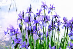 Iris flower near the water Stock Photos