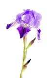 Iris flower over white Stock Image