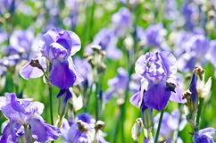Iris Flower. In palace garden Royalty Free Stock Images