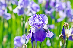 Iris Flower. In palace garden Stock Photo