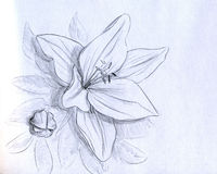 Iris flower - pencil sketch. Iris flower, bud and leaves. Pencil drawing, sketch royalty free illustration