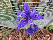 Iris Flower pequena bonita imagens de stock