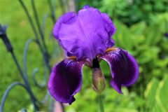 Iris Flower Plant purple and blooming. Vibrant purple Iris Flower Plant blooming in a garden located in Malone, New York royalty free stock image
