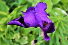 Iris Flower Plant purple and blooming. Vibrant purple Iris Flower Plant blooming in a garden located in Malone, New York stock photos