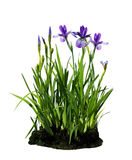 Iris Flower Plant Stock Photos