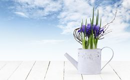 Iris flower plant in watering can isolated on wooden white table and sky background, web banner florist shop or gift card present. Concept stock photography