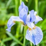 Iris flower after rain. Blue iris flower after rain Stock Image
