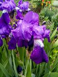 Iris flower with raindrops. Violet iris flowers on flowerbed of the green garden background stock photos