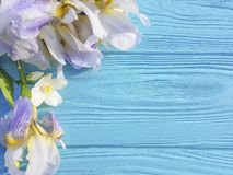 Iris flower romance, blossom fresh design spring decoration on blue wooden background. Iris flower on blue wooden background romance, blossom  spring holiday stock photo