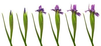 Iris Flower Series Images stock