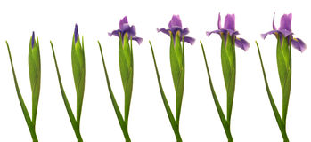 Iris Flower Series. Time lapse series of a purple Iris flower blooming Stock Images