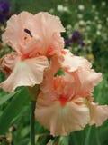 Iris, flower, Spring blooming flowers of iris. Iris, flower, Spring blooming flowers of iris stock photography