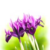 Iris flower. Violet blooming iris flower on green background Stock Photo