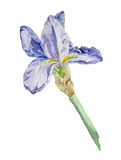 Iris flower watercolor. Watercolor hand drawn blue iris on white background stock illustration