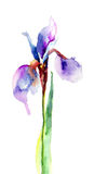 Iris flower Stock Photos