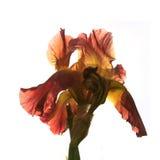 Iris flower on a white background. Iris big flower on a white background Royalty Free Stock Image