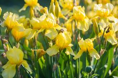 Iris flower. Yellow iris Stock Photos