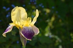Iris flower yellow and purple stock image