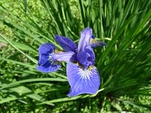 Iris flowerbed Stock Photography