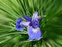 Iris flowerbed Royalty Free Stock Photography