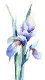 Iris flowers Stock Photography