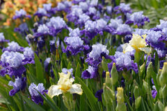 Iris flowers Stock Image