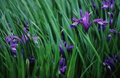Iris Flowers. Field of Iris Flowers at Spring royalty free stock photo
