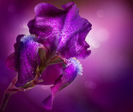 Iris Flowers Art Design. Beautiful Violet Flower Royalty Free Stock Photo