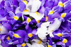 Iris flowers background, spring floral patern. Royalty Free Stock Photos