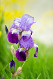Iris flowers. Beautiful iris flowers in bokeh Royalty Free Stock Image