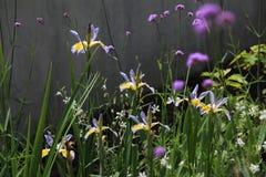 Iris Flowers. Beautiful Iris in flower garden spring time Stock Image