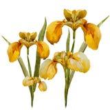 Iris flowers Stock Images