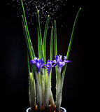 Iris flowers on a black background Stock Images