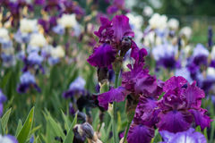 Iris flowers  blooming meadow Royalty Free Stock Image