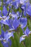 Iris flowers blooms Stock Image