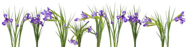 Iris flowers border. Isolated on white Stock Image