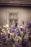 Iris flowers with broken window of an old abandoned house in the Royalty Free Stock Photo